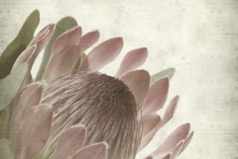 smart-art-flowers-roses-protea-fynbos-macro-poppy-37
