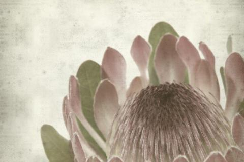 smart-art-flowers-roses-protea-fynbos-macro-poppy-38