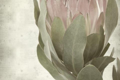 smart-art-flowers-roses-protea-fynbos-macro-poppy-39