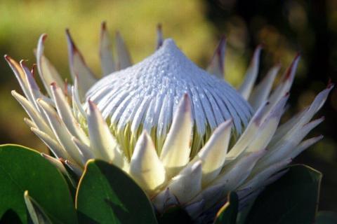 smart-art-flowers-roses-protea-fynbos-macro-poppy-44