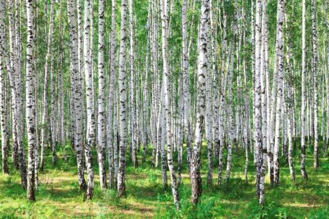 smart-art-trees-misty-forest-tree-trunks-sunlight-autum-winter-spring-summer-26