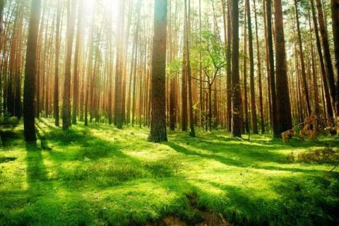 smart-art-trees-misty-forest-tree-trunks-sunlight-autum-winter-spring-summer-43