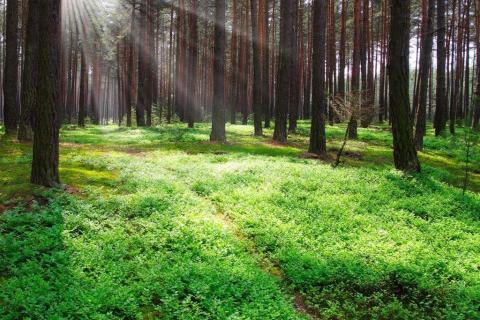 smart-art-trees-misty-forest-tree-trunks-sunlight-autum-winter-spring-summer-45